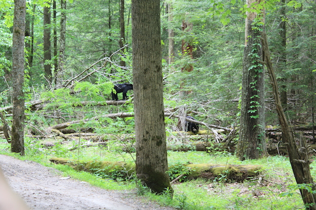 black bears at Cade's Cove