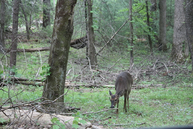 deer at Cade's Cove