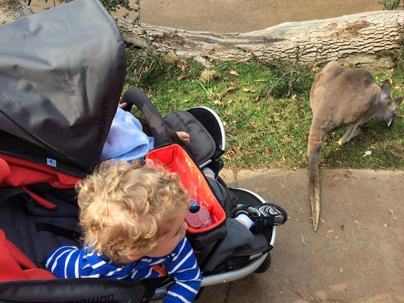 watching kangaroos at the Nashville zoo